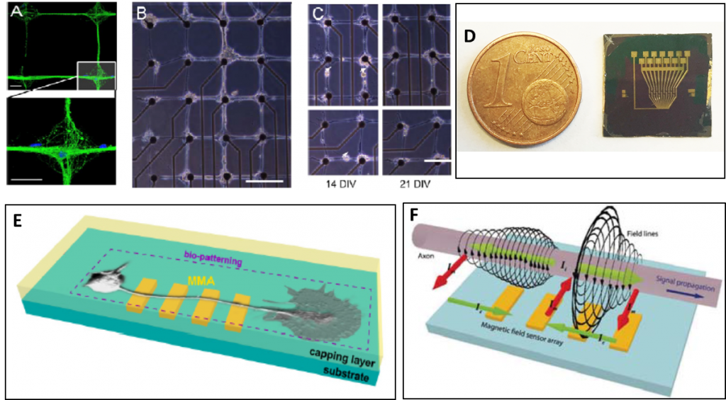 a) Fluorescence image of a patterned neuronal network grown on a grid-printed area with polylysine; b) optical image of a biopatterned network aligned with a multi-electrode array (MEA); c) Close-ups of patterned neuronal networks on MEA; d) optical image of a sensor array with 12 sensors provided with current lines simulating the action potential signal; e) Schematic of the proposed platform; f) Sketch of the spatial profile of the magnetic field and currents during the propagation of action potentials